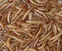 Meelwormen – emmer 1 ltr.