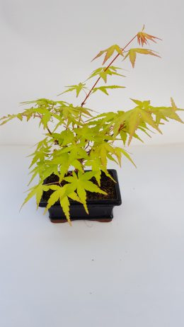 Acer Pseudo Palmatum